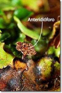 anteridioforo