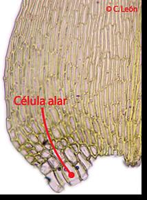 celulaalar