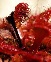 Insecto atrapado en una hoja de Drosera