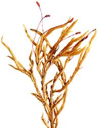pleurocarpico