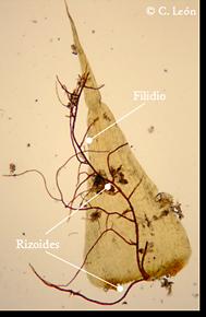 rizoides
